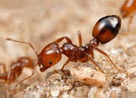 Домашние муравьи. Как избавиться от домашних муравьев?