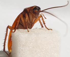 Тараканы. Как избавиться от тараканов?